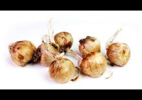 5-kashmiri-saffron-bulb-kesar-zafran-crocus-corm-5-bulbs-green-original-imafj22xksmqqrgg